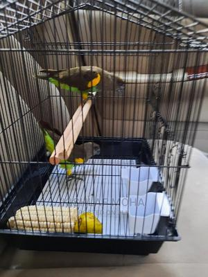 Meyers Parrots Pair for Sale | Birds for sale in Nairobi, Kilimani