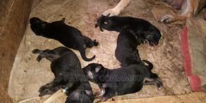 1-3 Month Female Purebred German Shepherd | Dogs & Puppies for sale in Kisumu, Kisumu Central