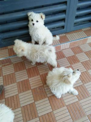 1-3 Month Female Mixed Breed Maltese   Dogs & Puppies for sale in Nakuru, Lanet