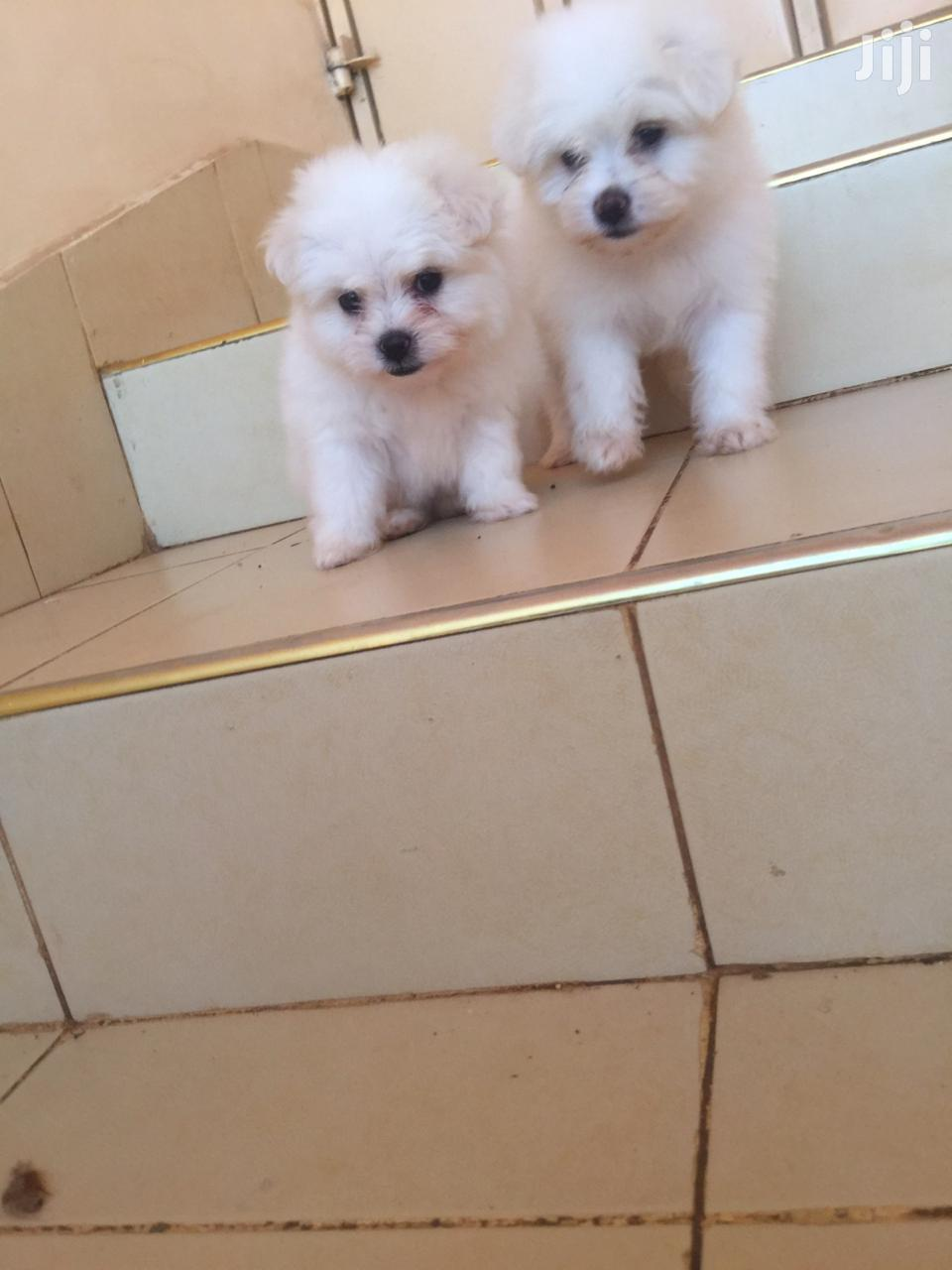 Young Female Purebred Maltese | Dogs & Puppies for sale in Umoja II, Nairobi, Kenya