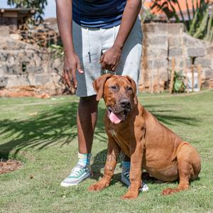 6-12 month Male Purebred Boerboel | Dogs & Puppies for sale in Kiambu, Ndenderu