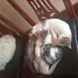 3-6 Month Female Purebred American Shorthair | Cats & Kittens for sale in Nairobi, Langata