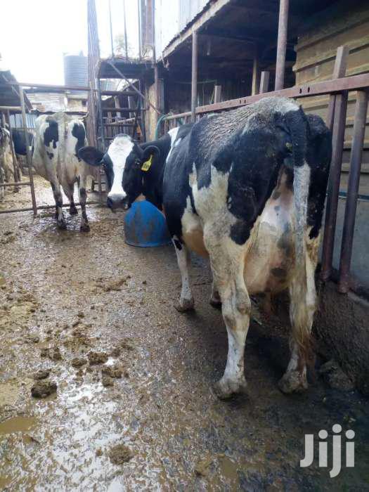 Milk Cow 150 Negotiable 28litres