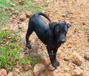 3-6 Month Female Purebred Labrador Retriever | Dogs & Puppies for sale in Nairobi, Dagoretti