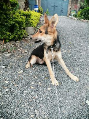 6-12 Month Male Purebred German Shepherd | Dogs & Puppies for sale in Machakos, Syokimau