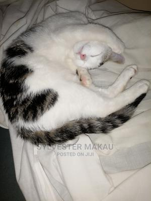 1-3 Month Female Mixed Breed American Shorthair | Cats & Kittens for sale in Nairobi, Zimmerman