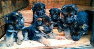 0-1 Month Female Purebred German Shepherd | Dogs & Puppies for sale in Nairobi, Embakasi