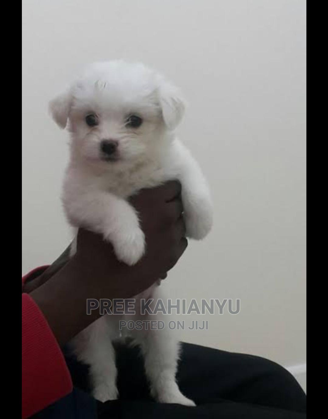 1-3 Month Female Mixed Breed Maltese