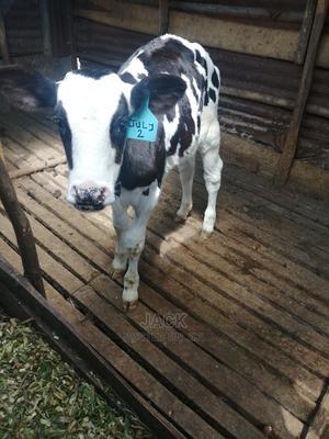 Pedigree Heifer Calf | Livestock & Poultry for sale in Kiambu, Githunguri