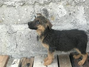 3-6 Month Male Purebred German Shepherd | Dogs & Puppies for sale in Kajiado, Kitengela