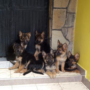 3-6 Month Female Purebred German Shepherd | Dogs & Puppies for sale in Nairobi, Umoja