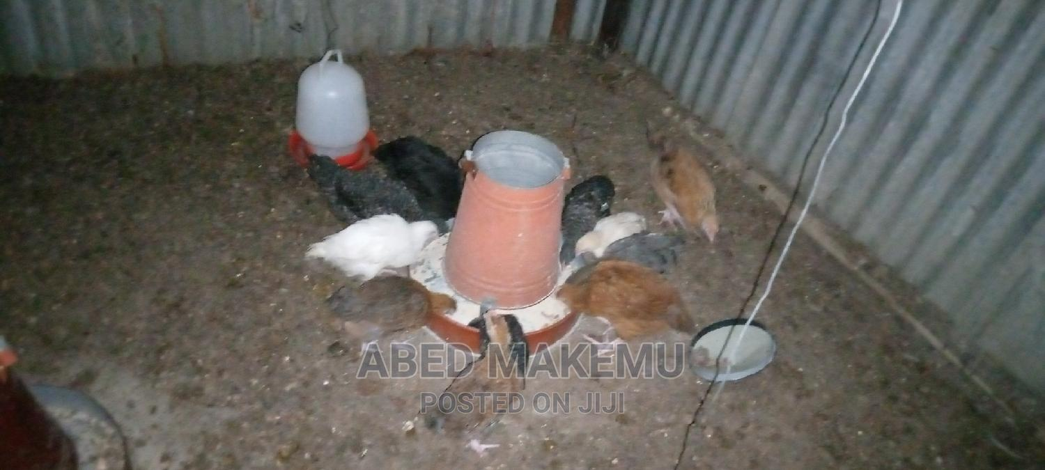 Archive: One Day Old Chicks