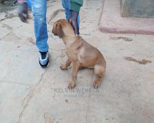 3-6 month Female Purebred Boerboel | Dogs & Puppies for sale in Uasin Gishu, Eldoret CBD