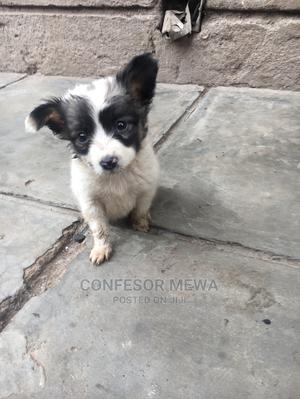 1-3 month Male Purebred Chihuahua   Dogs & Puppies for sale in Nairobi, Langata
