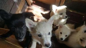 3-6 Month Male Purebred Japanese Spitz   Dogs & Puppies for sale in Nairobi, Nairobi Central
