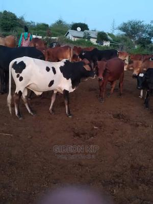 Beef Cows For Sale   Livestock & Poultry for sale in Kajiado, Ongata Rongai