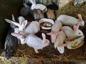 3 Month Old Rabbits   Livestock & Poultry for sale in Nairobi, Kilimani