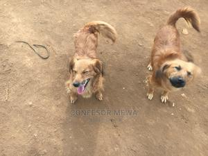 1+ year Female Purebred Chihuahua | Dogs & Puppies for sale in Nairobi, Langata