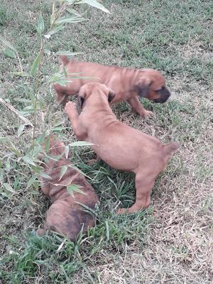 1-3 month Female Purebred Boerboel | Dogs & Puppies for sale in Nairobi, Karen
