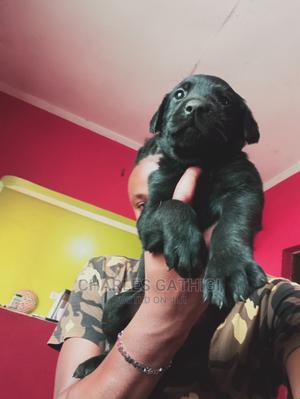 6-12 Month Female Purebred Labrador Retriever | Dogs & Puppies for sale in Nairobi, Nairobi Central