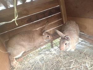 Flemish Giant Mature Rabbit Does | Livestock & Poultry for sale in Nairobi, Nairobi Central