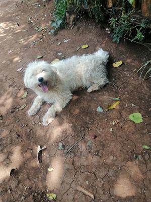1+ Year Female Purebred Maltese | Dogs & Puppies for sale in Kiambu, Kabete