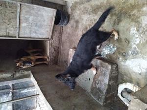 6-12 Month Male Purebred German Shepherd | Dogs & Puppies for sale in Kajiado, Kitengela