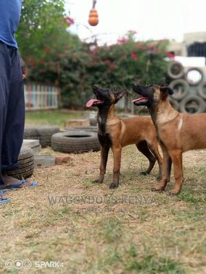 3-6 Month Male Purebred Belgian Malinois   Dogs & Puppies for sale in Machakos, Athi River