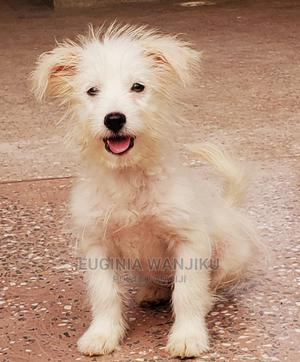 3-6 Month Female Mixed Breed Japanese Spitz | Dogs & Puppies for sale in Kajiado, Ongata Rongai