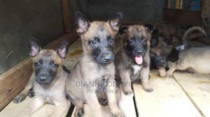 1-3 Month Male Purebred Belgian Malinois   Dogs & Puppies for sale in Machakos, Syokimau