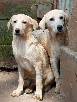 3-6 Month Female Purebred Labrador Retriever | Dogs & Puppies for sale in Nakuru, Nakuru Town East