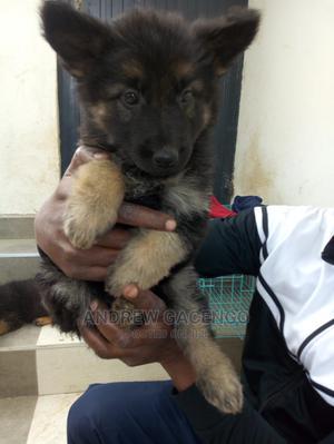 1-3 month Male Purebred German Shepherd | Dogs & Puppies for sale in Kajiado, Kitengela