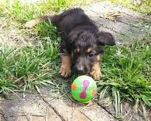 3-6 Month Male Purebred German Shepherd | Dogs & Puppies for sale in Bungoma, Township D