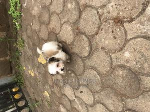 1-3 Month Female Purebred Havanese | Dogs & Puppies for sale in Nairobi, Westlands