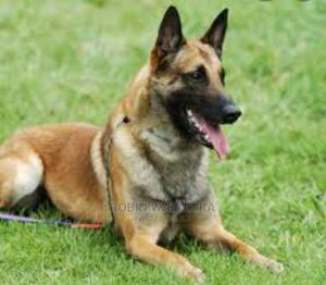 6-12 Month Male Purebred Belgian Malinois   Dogs & Puppies for sale in Kiambu, Kiambu / Kiambu