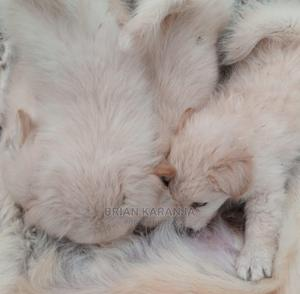 1-3 Month Male Purebred Japanese Spitz | Dogs & Puppies for sale in Nairobi, Ruai