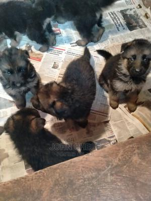 1-3 Month Female Purebred German Shepherd | Dogs & Puppies for sale in Kiambu, Kiambu / Kiambu