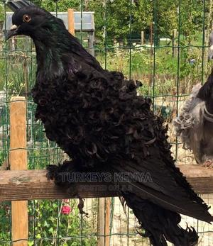 Imported Male Frillback | Birds for sale in Nairobi, Nairobi Central