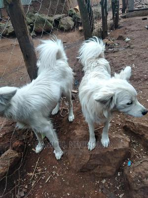 6-12 Month Male Purebred Japanese Spitz | Dogs & Puppies for sale in Kajiado, Ngong