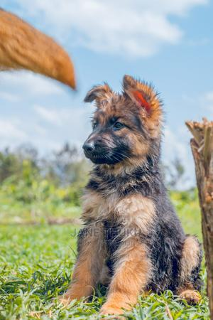 3-6 Month Male Purebred German Shepherd | Dogs & Puppies for sale in Uasin Gishu, Turbo