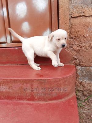 1+ Year Female Purebred Labrador Retriever | Dogs & Puppies for sale in Nairobi, Nairobi Central