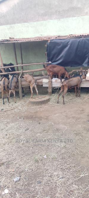 German Alpine Toggenburg | Livestock & Poultry for sale in Kiambu, Ruiru