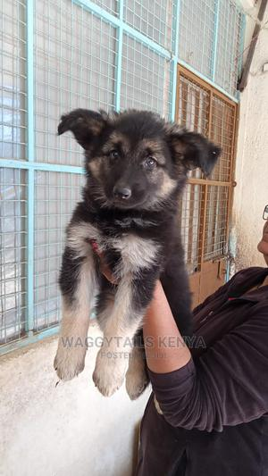 1-3 Month Female Purebred German Shepherd | Dogs & Puppies for sale in Kajiado, Kitengela