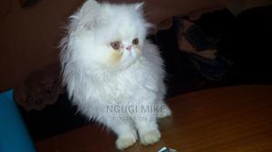 1-3 Month Male Purebred Persian   Cats & Kittens for sale in Kiambu, Kiambu / Kiambu