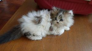 1-3 Month Female Purebred Persian   Cats & Kittens for sale in Kiambu, Kiambu / Kiambu
