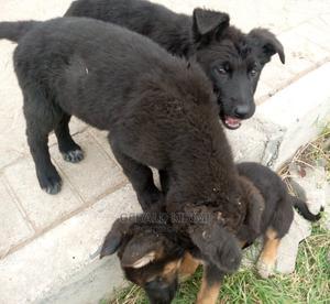 1-3 Month Female Purebred German Shepherd   Dogs & Puppies for sale in Machakos, Syokimau