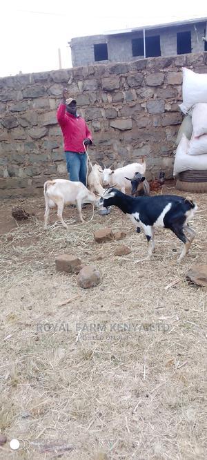 Pure Saanen Breed 3 Litters Per Day | Livestock & Poultry for sale in Kiambu, Ruiru