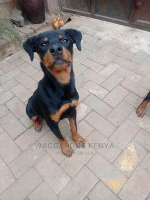 3-6 Month Male Purebred Rottweiler   Dogs & Puppies for sale in Nairobi, Utawala