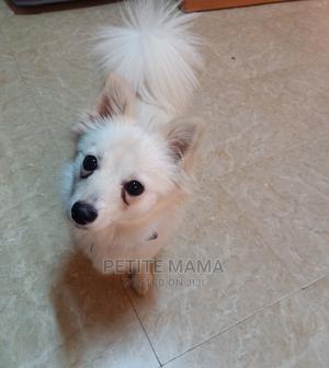 1+ Year Female Purebred Japanese Spitz | Dogs & Puppies for sale in Kiambu, Ruaka