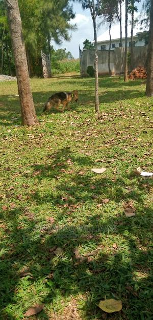 3-6 Month Male Purebred German Shepherd | Dogs & Puppies for sale in Nairobi, Langata